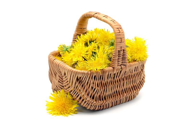 Dandelion flower heads in a basket to make vegan honey and tea. stock photography
