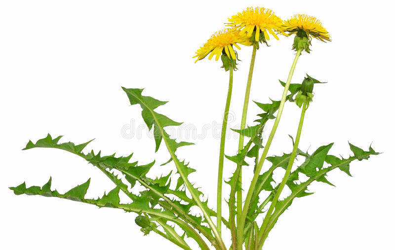 Dandelion flower. Isolated on a white background stock photos