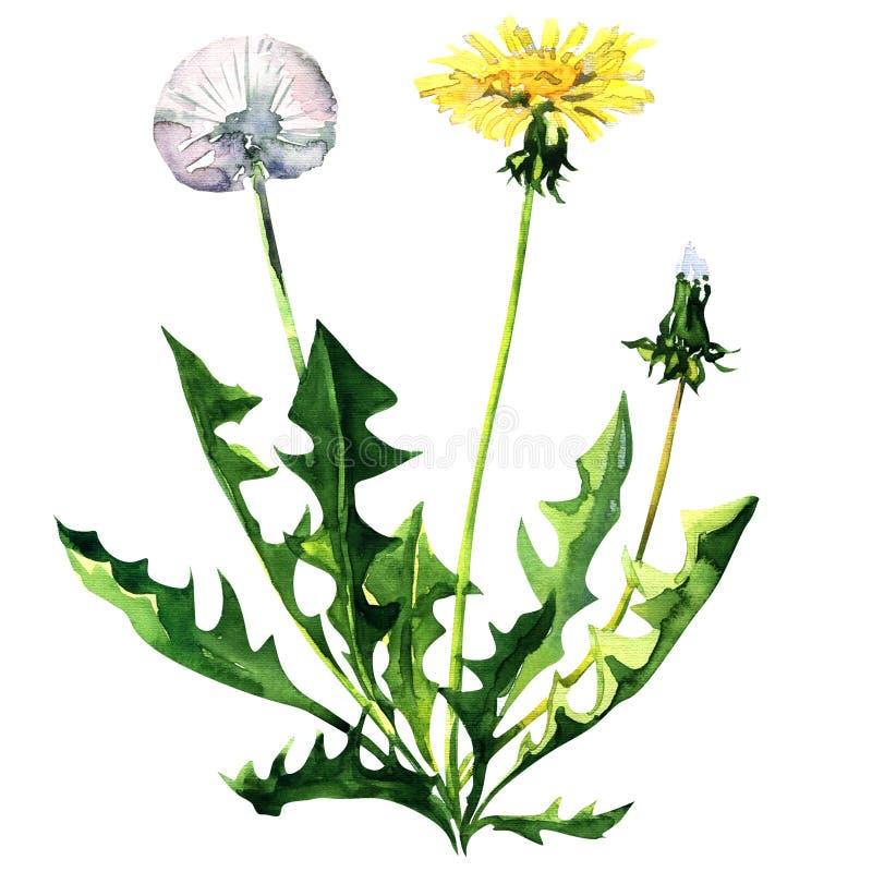 Dandelion flower isolated on a white background stock illustration download dandelion flower isolated on a white background stock illustration illustration of food bloom mightylinksfo Images