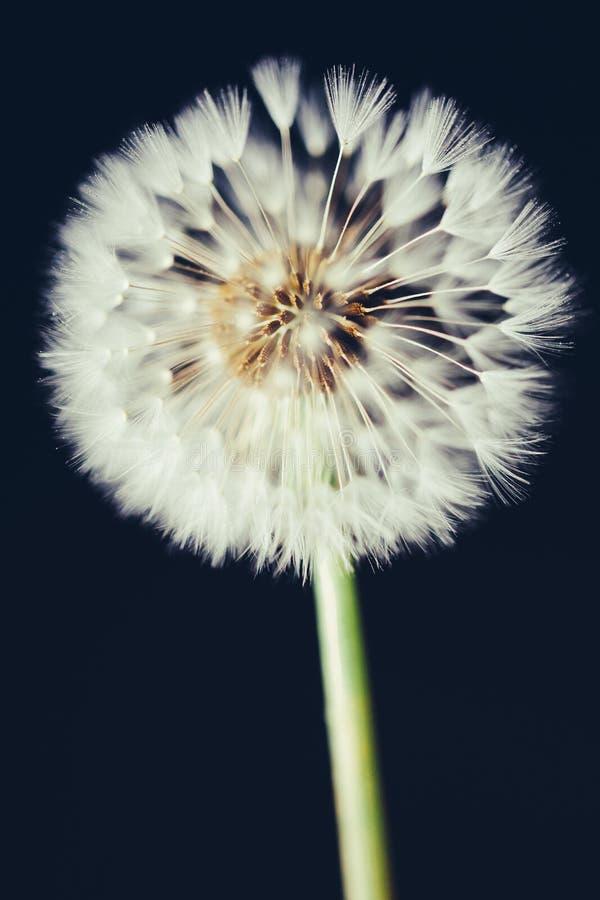 Free Dandelion Flower On Dark Background Stock Image - 73693851