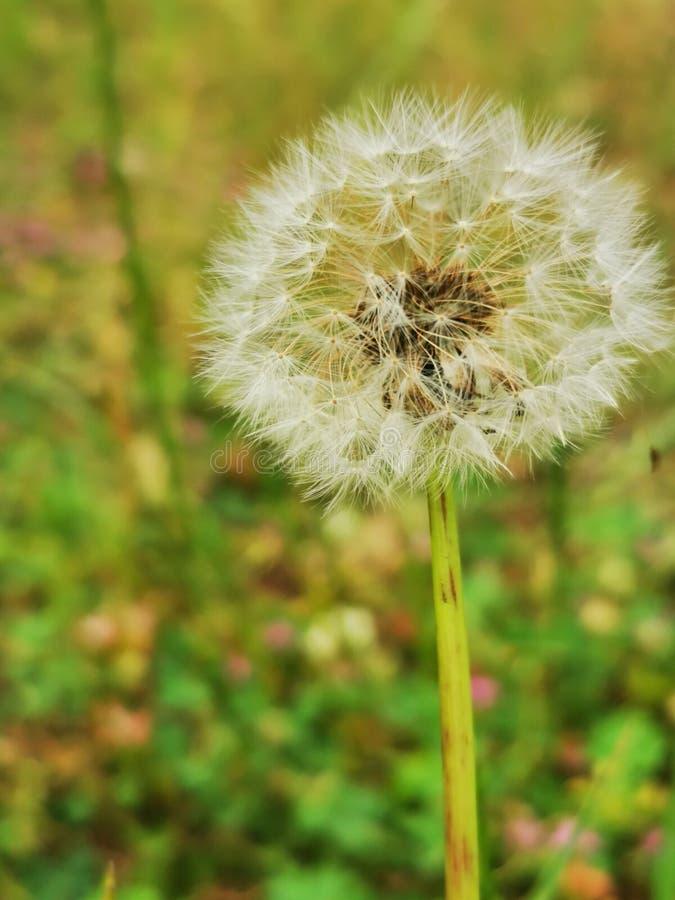 Dandelion flower royalty free stock photos