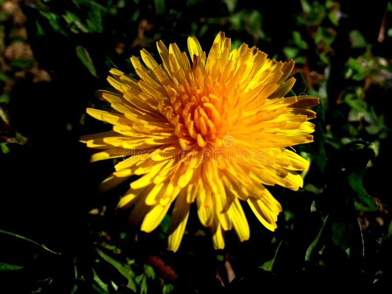The Dandelion Flower stock images