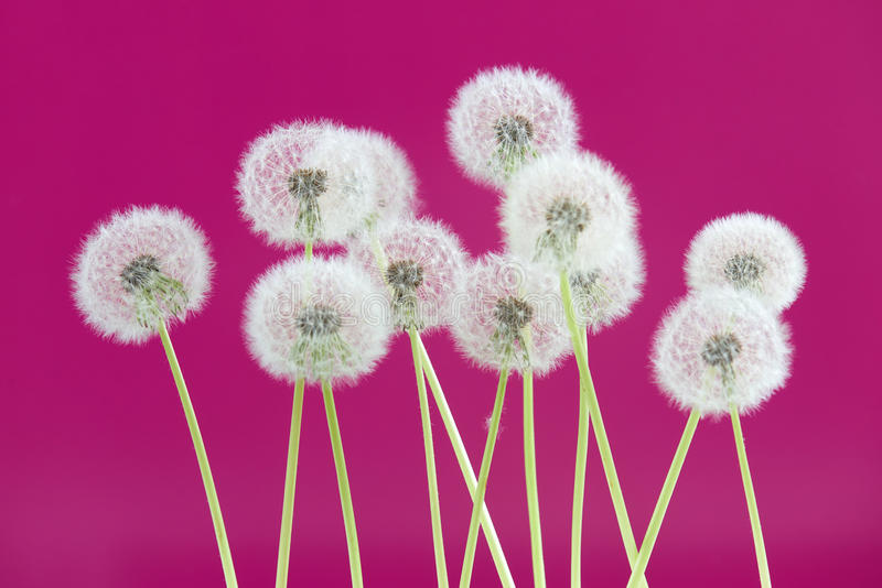 Dandelion flower on pink color background, group objects on blank space backdrop, nature and spring season concept. stock photo