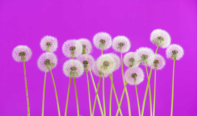 Dandelion flower on purple color background, group objects on blank space backdrop, nature and spring season concept. stock photo