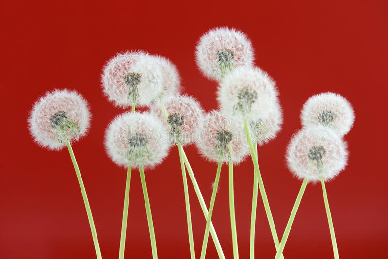 Dandelion flower on red color background, group objects on blank space backdrop, nature and spring season concept. stock image