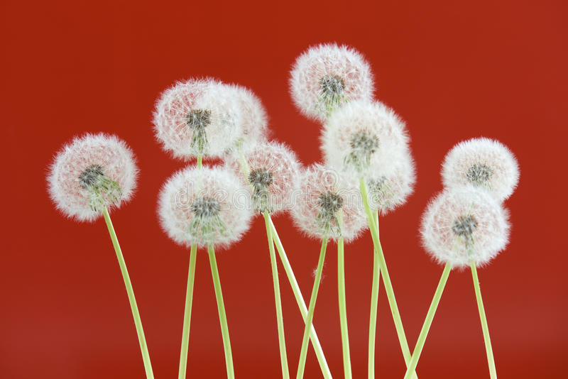 Dandelion flower on red color background, group objects on blank space backdrop, nature and spring season concept. stock images