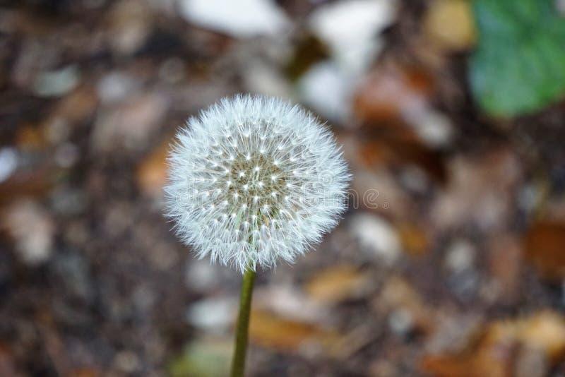 Dandelion Flower Seed Head Free Public Domain Cc0 Image
