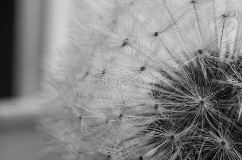 Dandelion flower seed head royalty free stock photo