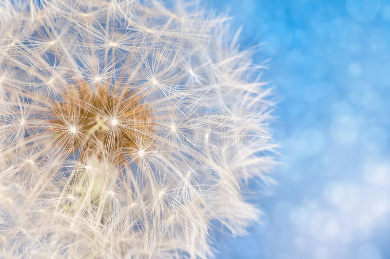 Dandelion flower with seeds ball. Close up in blue bright bokeh background royalty free stock photo
