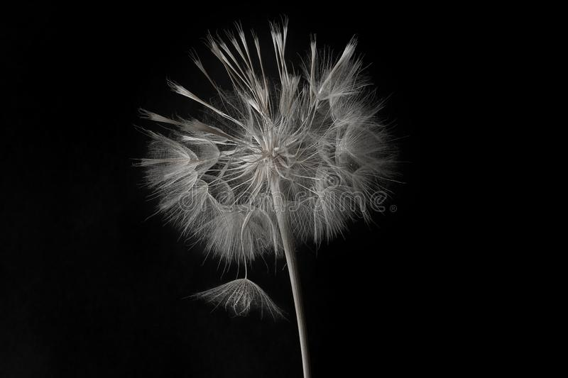 Dandelion flower and seeds close-up on a black background stock image