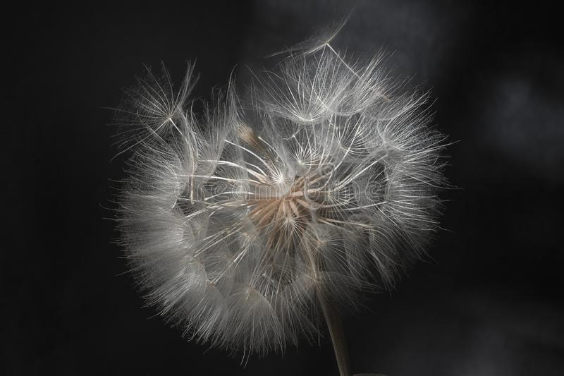 Dandelion flower and seeds close-up on a black background royalty free stock image
