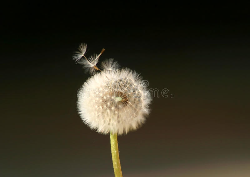 Dandelion Flower Spreading Seeds in the Wind. Dandelion Flower (Taraxacum officinalis) with its seeds being blown on the wind stock images