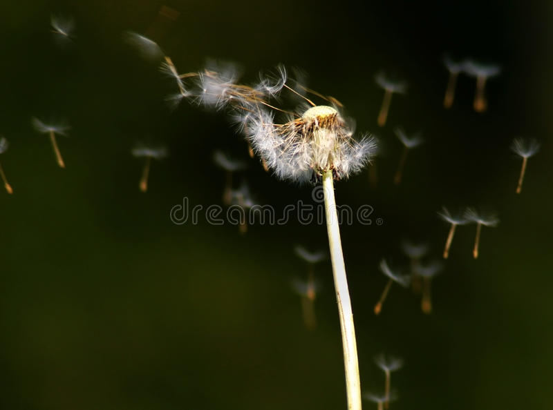 Dandelion Flower Spreading Seeds in the Wind. Dandelion Flower (Taraxacum officinalis) with its seeds being blown on the wind royalty free stock image