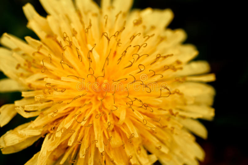 Dandelion flower on sun explosion royalty free stock image