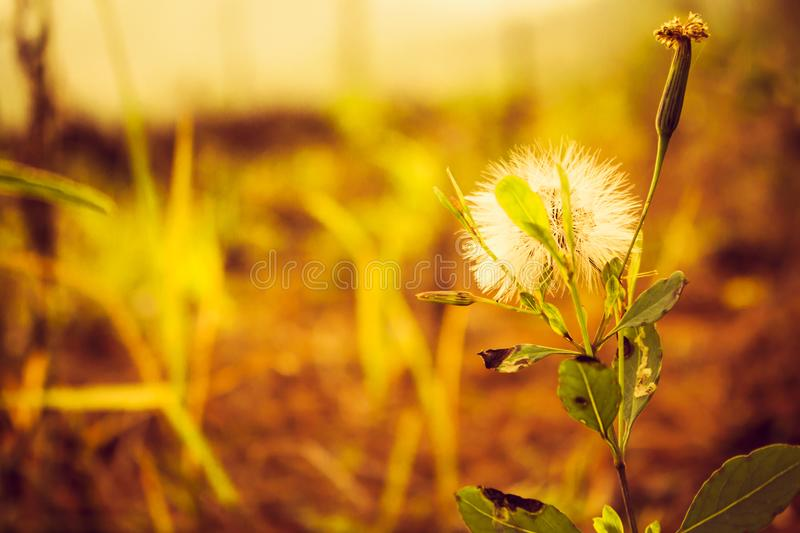 Nature dandeleon in the sunrice royalty free stock photography