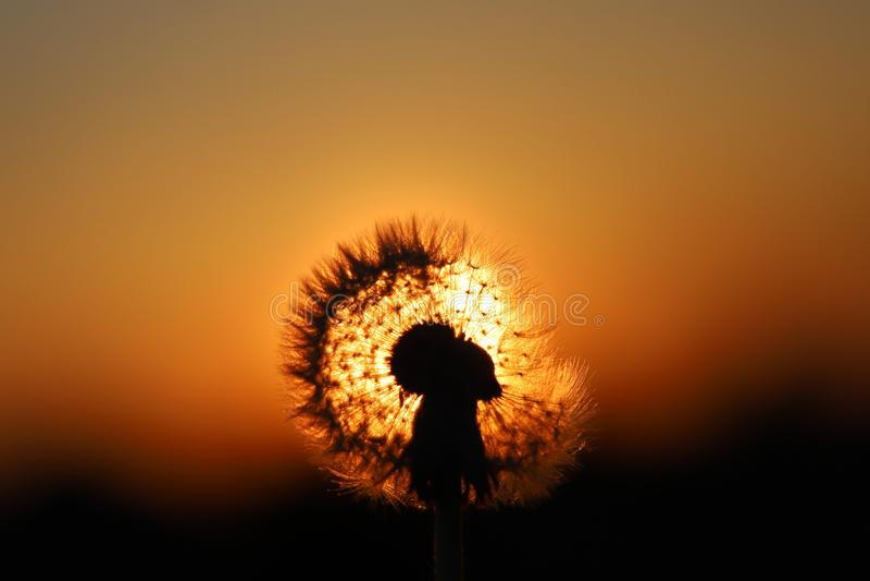 Dandelion flower at sunrise, photo taken against sun. Dandelion flower at sunrise,photo taken against sun royalty free stock photo