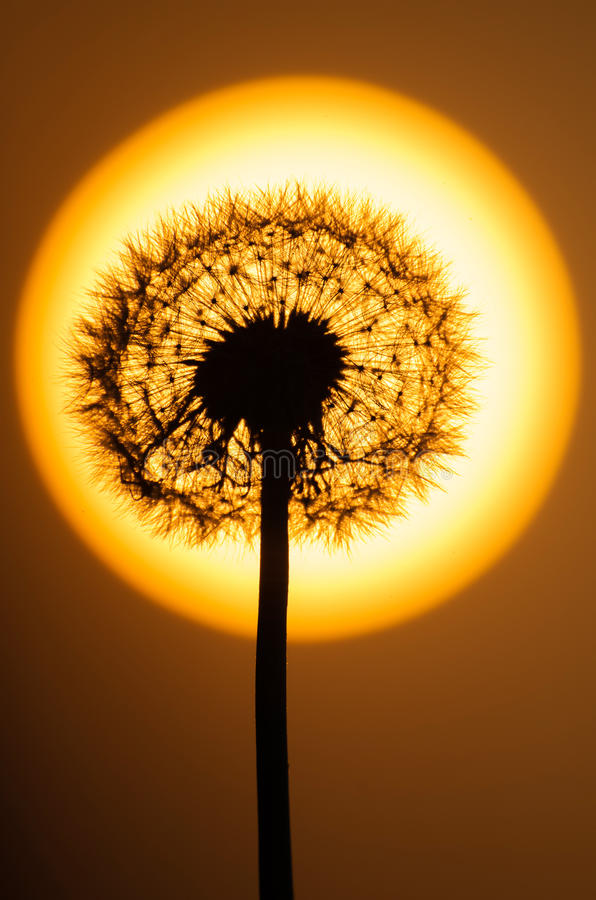 Dandelion flower at sunset. Dandelion flower with the sun behind stock images