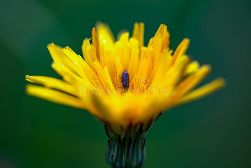 Dandelion flower with a tiny bug inside stock images