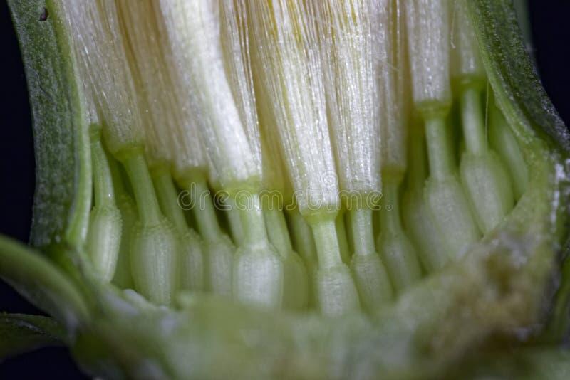 Dandelion flower under the microscope. stock photo