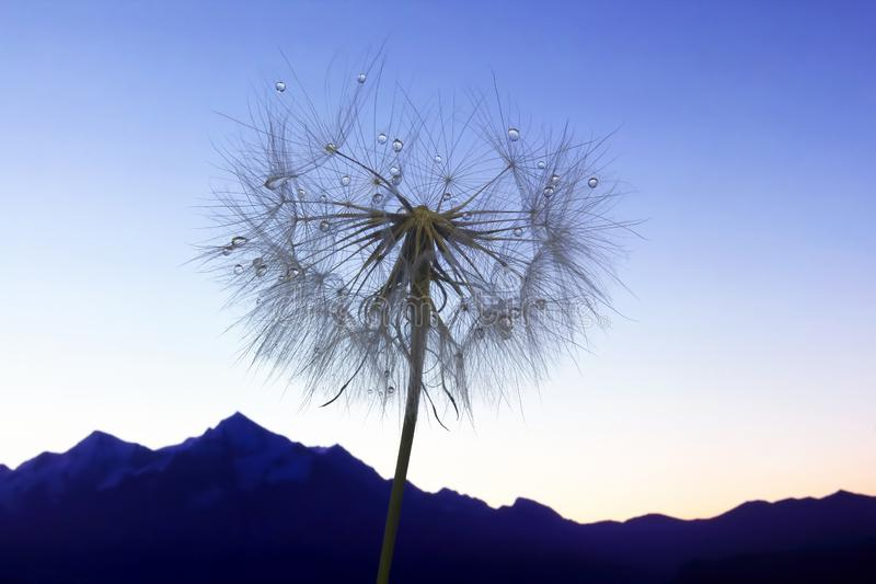 Dandelion flower with water drops on a background of mountainous terrain royalty free stock image