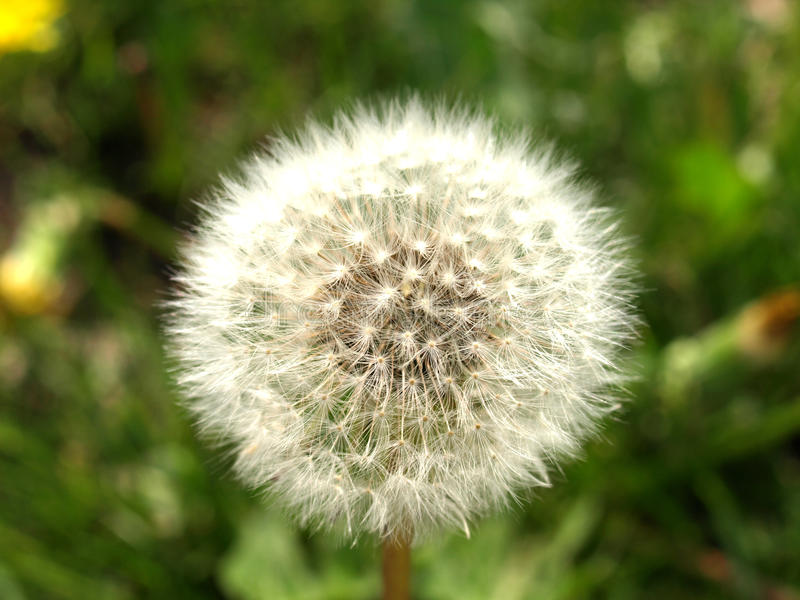 Dandelion flower. With white seeds royalty free stock photo