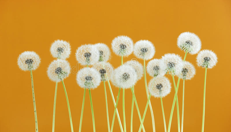 Dandelion flower on yellow color background, group objects on blank space backdrop, nature and spring season concept. stock photo