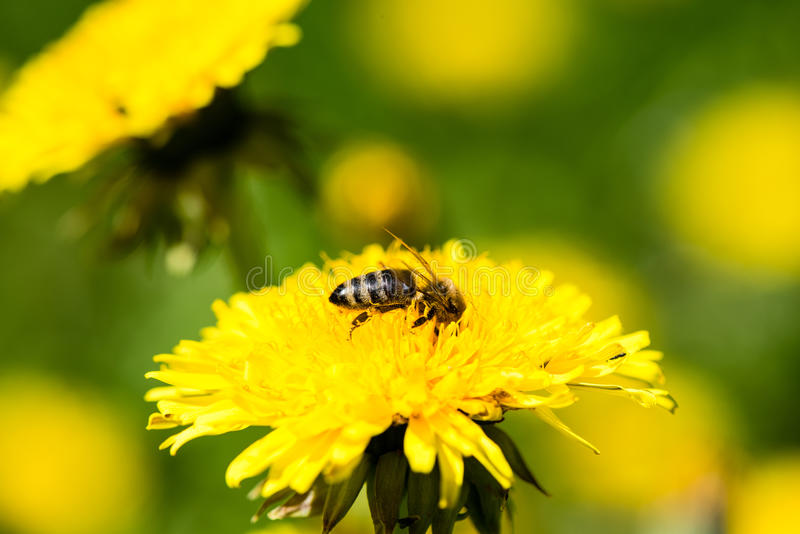 Dandelion flowers and blossoms in spring. Blooming in natural environment with insects royalty free stock photos