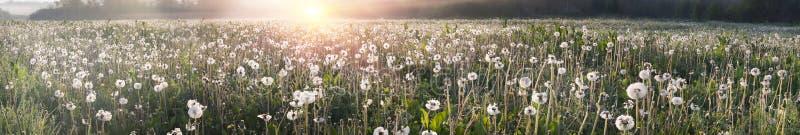 Dandelion flowers. Daffodils on rasvete in Hust Valley, Transcarpathia, Ukraine. Large field of ancient relict flowers - a national landmark in the region stock images