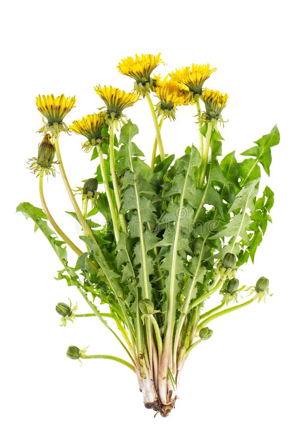 Dandelion flowers green leaves isolated white background stock image