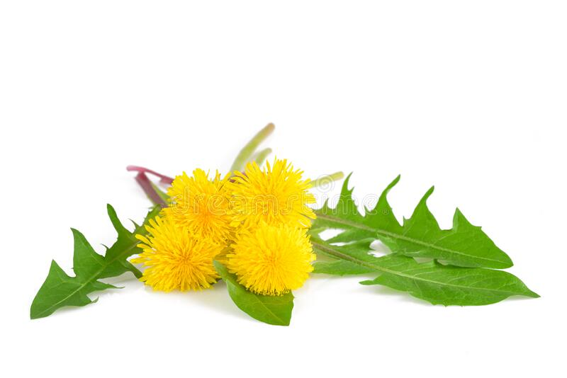Dandelion flowers and leaves. Dandelion with flowers isolated on white background royalty free stock image