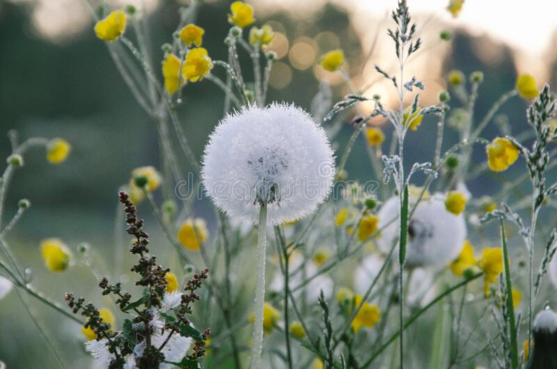 Dandelion Flowers With Seed Heads Free Public Domain Cc0 Image