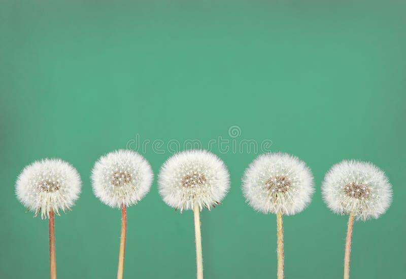 Dandelion fluff on teal royalty free stock images