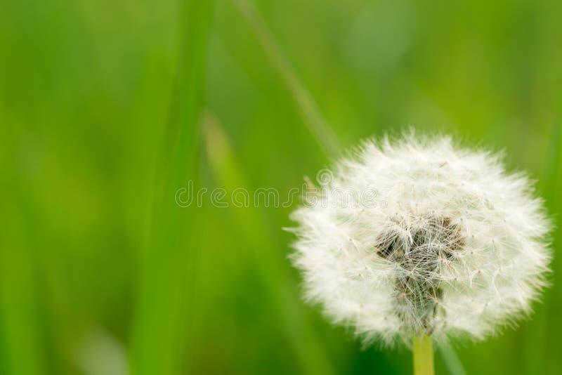 Dandelion fluff w łące zdjęcia stock