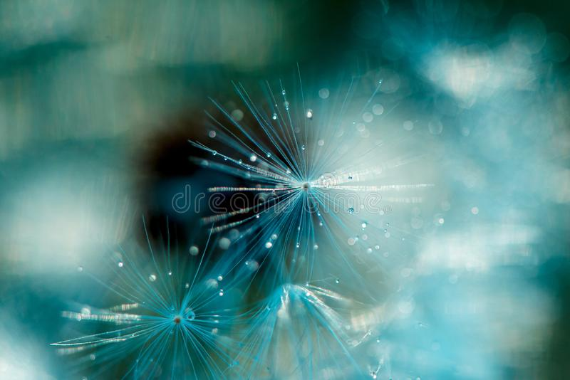 Dandelion fluff z wodnymi kropelkami zamkniętymi w górę Biali puszyści dandelions, selekcyjna ostrość zdjęcie royalty free
