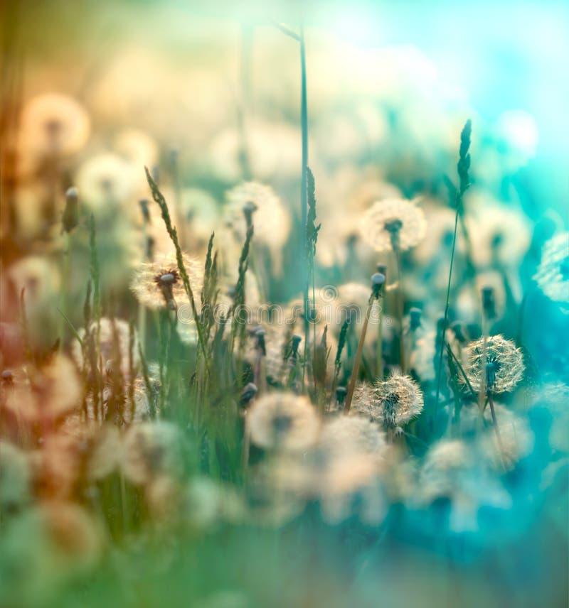 Dandelion fluffy blowball stock image