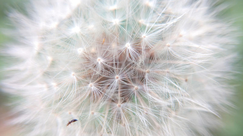 Dandelion fluffy close-up. On a summer bright day stock photo