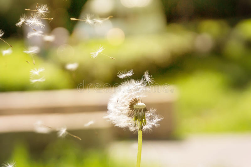 Dandelion fly away in the wind royalty free stock photography
