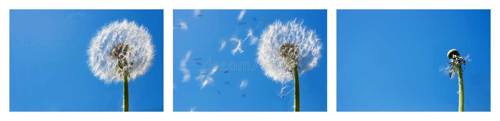 Dandelion Flying Seeds. Triptych with the sequence of a dandelion seeds flying in the wind. Blue sky background. Useful for spring themes or - time passing by royalty free stock images