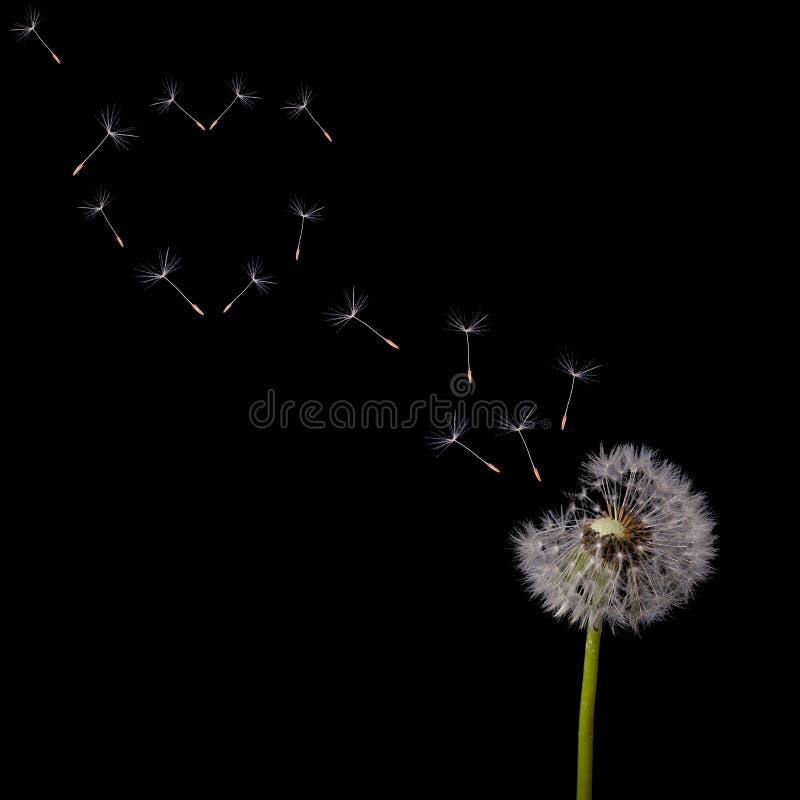 Free Dandelion Flying Seeds Heart Shape On Black Stock Photo - 37351220