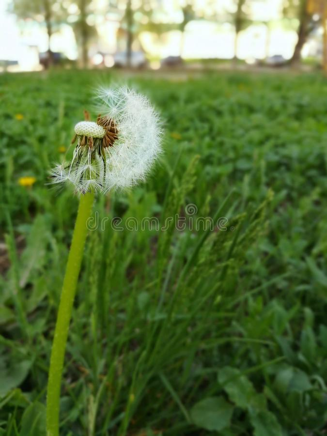 Dandelion with flying seeds in lush green grass. Spring allergy season. royalty free stock photography