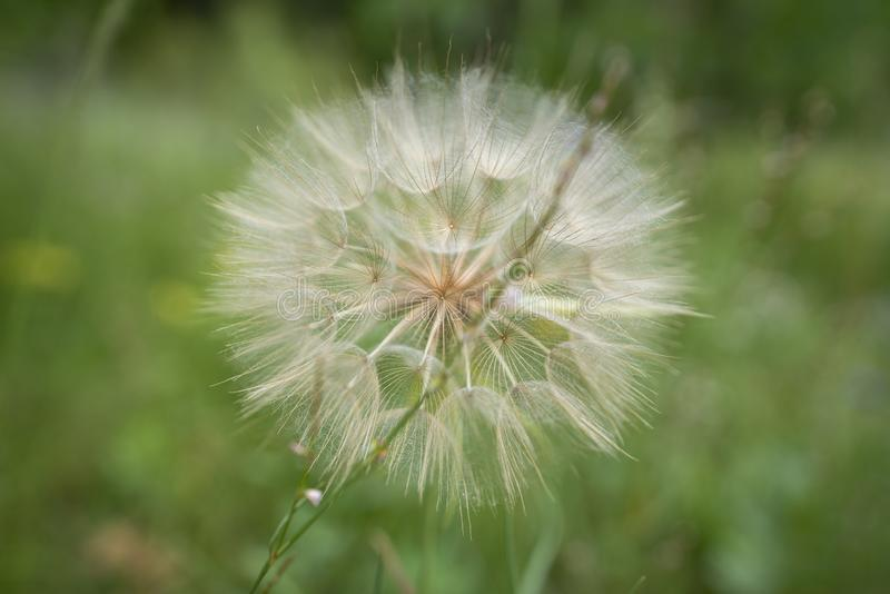 Simply just a Dandelion. Dandelion found on the hiking trail a perfect symbol of detail and bokeh effect stock photos