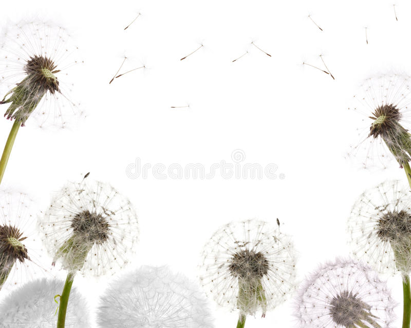 Dandelion frame isolated on white royalty free stock images