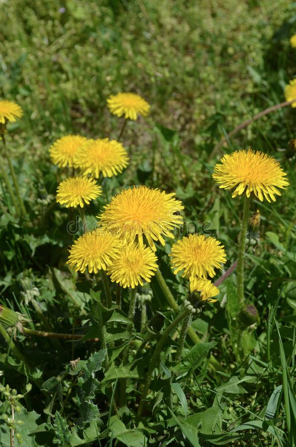 Dandelion flowers bio eco natural herbs stock image