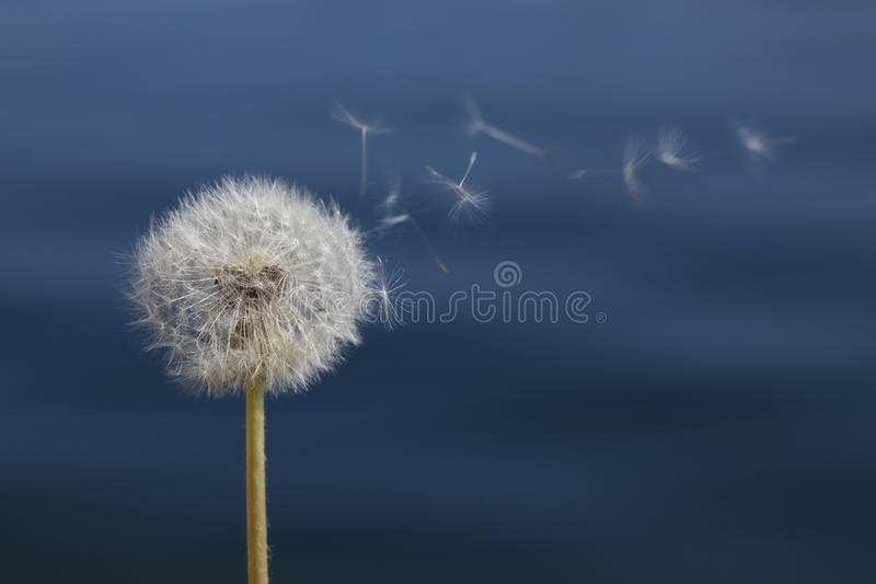 Dandelion in front of water royalty free stock photo