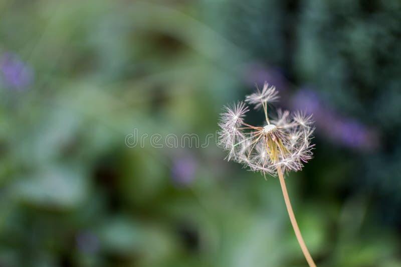 A Dandelion in a garden.  stock photos