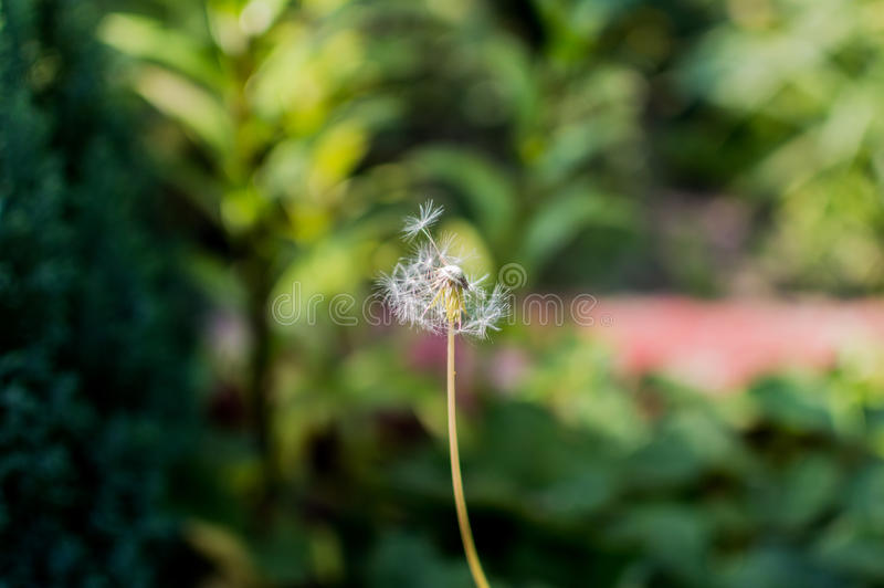 A Dandelion in a garden.  royalty free stock images