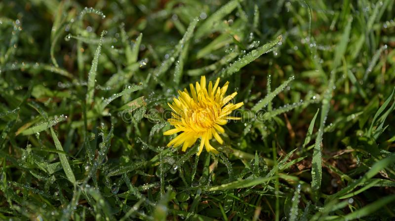Dandelion on garden lawn. With dew drops stock photography