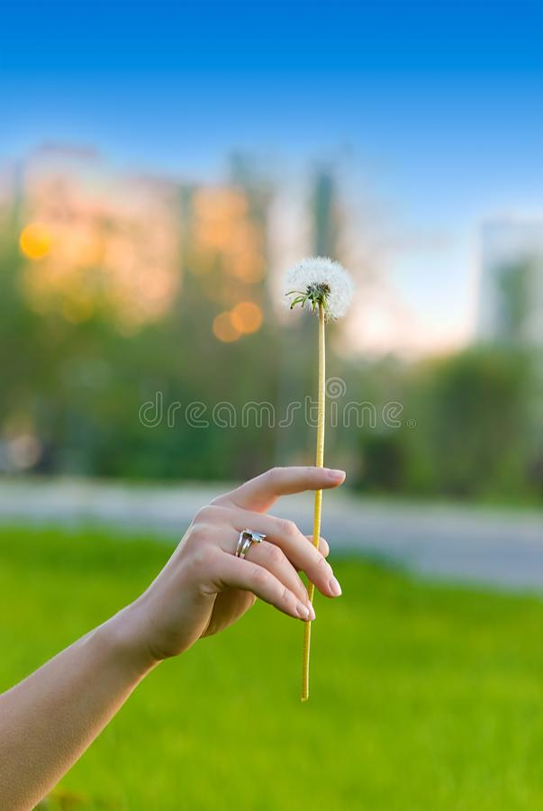 Dandelion in girl's hand royalty free stock image