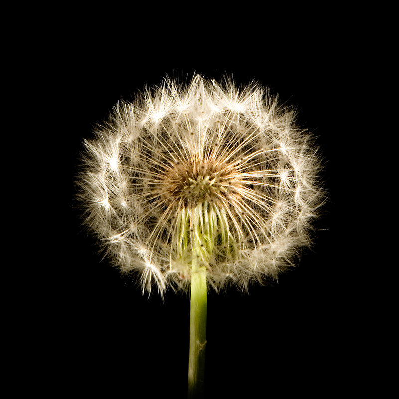 Dandelion Glow royalty free stock image