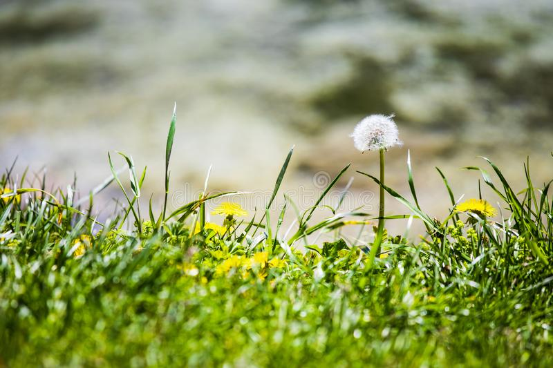 Dandelion and grass in Lago Ghedina, an alpine lake in Cortina D`Ampezzo, Dolomites, Italy royalty free stock photo